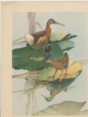 Francis Lee Jaques Signed Print - King Rail & Virginia Rail