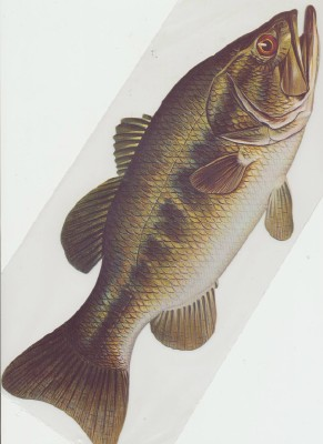 Color Diecut Bass Fish - Lot Of 6